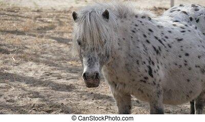 debout, poney, sol, taches, en mouvement, noir, blanc, sien, sablonneux, oreilles