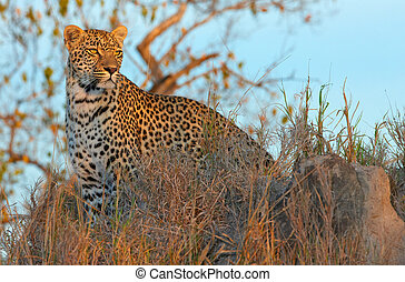 debout, savane, léopard