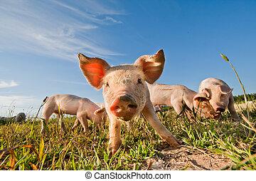 debout, suède, cochons, pigfarm