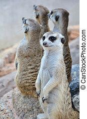 debout, suricate, alerte, position, ou, meerkat