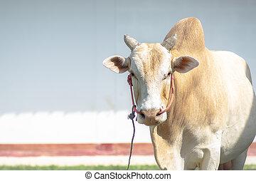 debout, vache, espace, devant, blanc, copie, vue