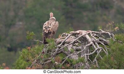 debout, vautour, sur, arbre, pin, sommet, vue postérieure