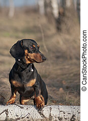 debout, yello, bronzage, chien, automne, noir, portrait, herbe, teckel