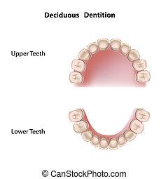 decíduo, dentição, eps8