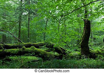 decíduo, levantar, de, bialowieza, floresta, em, verão