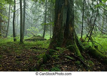 decíduo, levantar, outonal, bialowieza, floresta