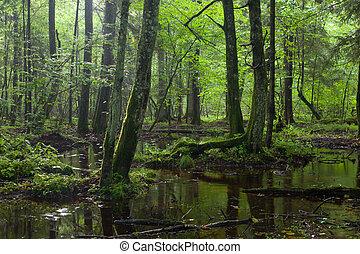 decíduo, levantar, verão, molhados, bialowieza, amanhecer, floresta