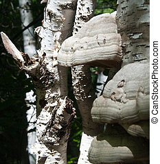 Decaying Birch