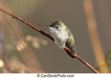December hummingbird on uncut flower stalks is an Arizona winter portrait