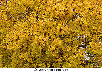 Deciduous Ash tree (Fraxinus) with leaves turning to yellow...
