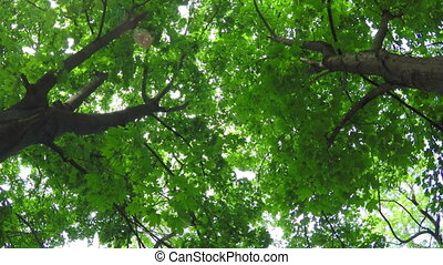 Deciduous Forest - Maple Trees in the Deciduous Forest