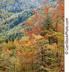 Deciduous forest in autumn colors. Seasonal change, ...