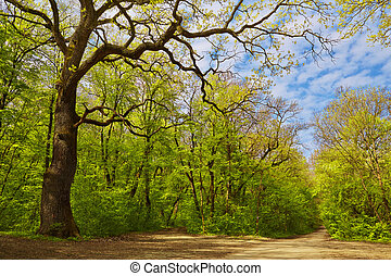 Deciduous forest in spring - Mixed deciduous forest trees...