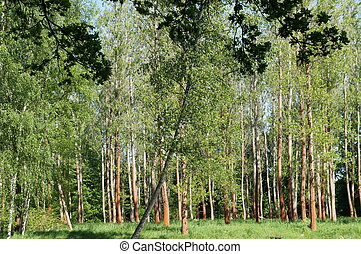 Deciduous forest in spring, light and sun, green foliage
