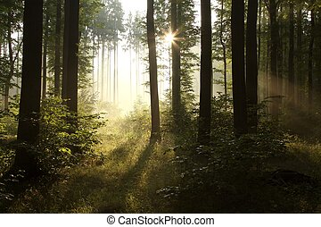 Deciduous forest in the sunshine - Sunbeams entering into ...