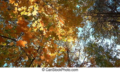 Deciduous forests in warm sunny weather, dried leaves fall...