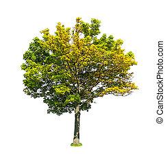 Deciduous linden tree isolated on white background