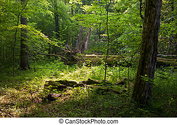 Deciduous stand in summer