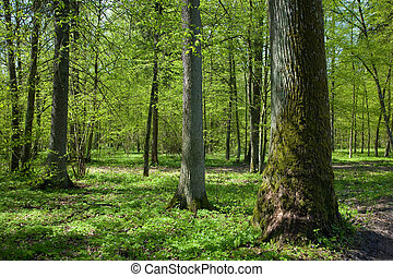 Deciduous stand of Bialowieza Forest at sunnny springtime...