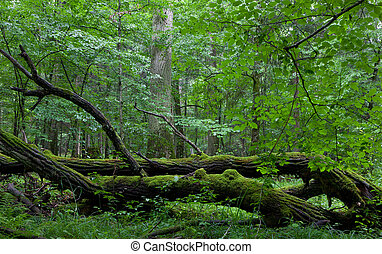 Deciduous stand of Bialowieza Forest in summer - Deciduous...