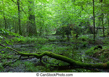 Deciduous stand of Bialowieza Forest in summer