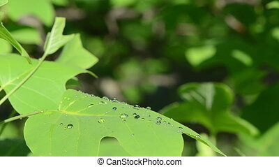 deciduous tree dew drops - dew water drops on beautiful...