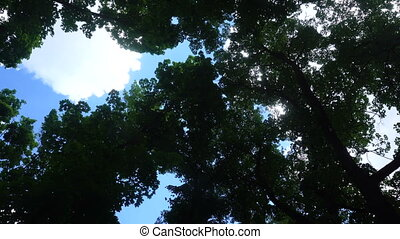 deciduous trees and a blue sky - crowns of deciduous trees...