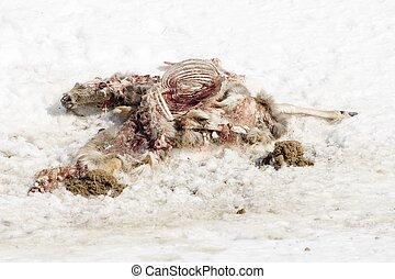 Decomposing Deer Car - Coyotes and ravens have been feeding...