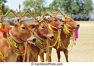 Decorated Bulls for Madura Bull Race, Indonesia - Decorated...