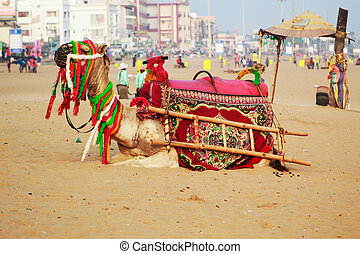 decorated camel on the sea beach