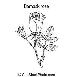 decoratief, plant, damast, roos, rosa, damascena, medicinaal