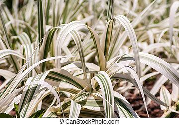decoratieve tuin, groeiende, witte , gras, flora