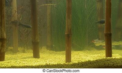 Decorative bamboo in aquarium and fishes