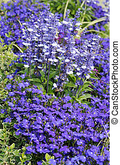 Lobelia erinus and Salvia Farinacea - Decorative blue...