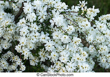 Decorative bush blooms in white beautiful flowers
