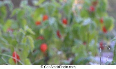 decorative cape gooseberries with white frost rime. Focus...