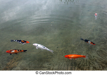 Decorative carp or koi in a pond