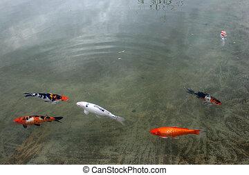Decorative carp or koi in a pond