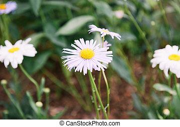 Decorative chamomile flower