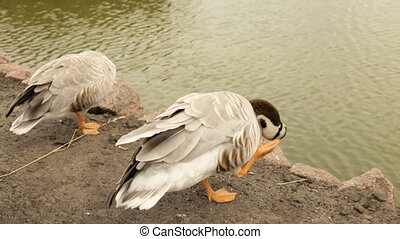 Decorative duck cleans feathers on the shore of the lake -...