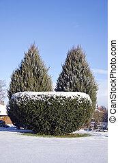 decorative evergreen tree bush in winter park