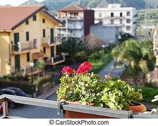 flower geranium in pot on balcony of urban house