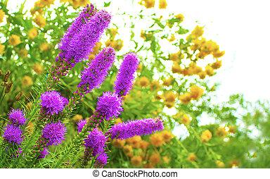 Decorative garden flowers lilac.