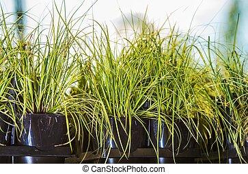 Decorative Garden Grasses