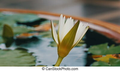 Decorative garden lily in artificial pond. Beautiful white...