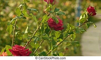 Decorative garden roses on shrub - Decorative garden roses...
