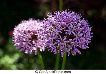 decorative garlic