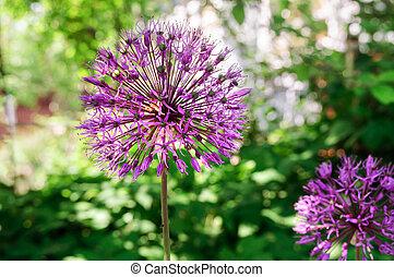Decorative garlic, violet flower in spring garden.