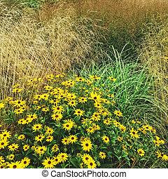 Rudbeckia flowers blooming in the summer garden