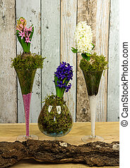 Decorative Hyacinthus plated in glases. - Decorative...